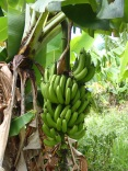 fruits of Rarotonga - bananas