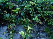 fruits of Rarotonga - passionfruit