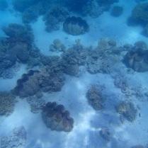 giant clams