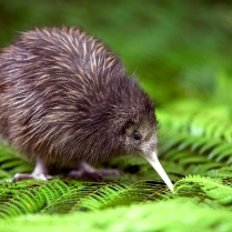 """I'm a Kiwi, please don't eat me!"""