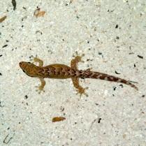 jumping gecko