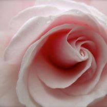 Rotorua Museum rose garden