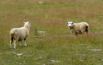 It would not be New Zealand without a few sheep here and there