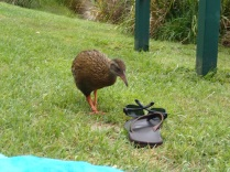 """Mr. Weka inspecting my jandals: """"not the right walking shoes!"""""""