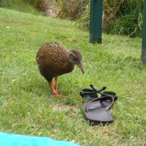 "Mr. Weka inspecting my jandals: ""not the right walking shoes!"""
