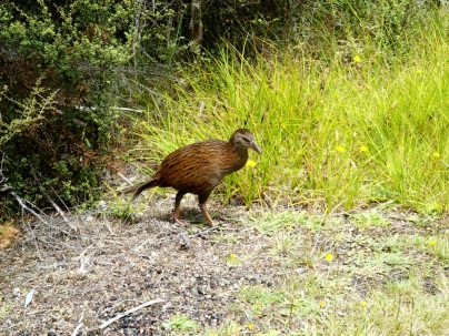 Hey look! Another Weka.