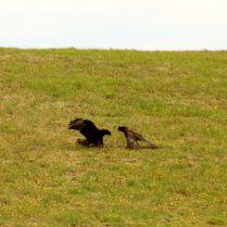 Hawks hunting