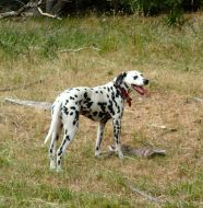 proud Appaloosa-Dalmatian rabbit hunter