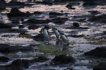 penguin family on the way to their nest … the little ones were already waiting for mommy on the shore