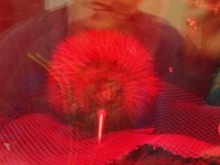 Mini Kiwi in hatching station