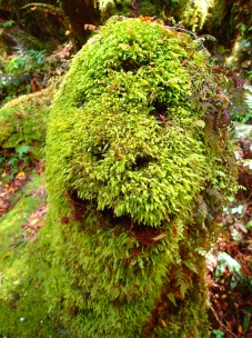 You know you're in New Zealand, when mossy tree stumps look like this :-)