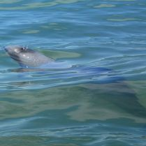 Porpoise Bay dolphins