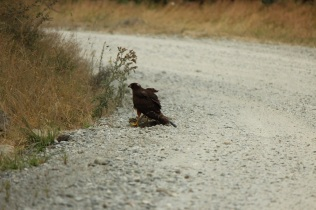 hawk snacking on some roadkill