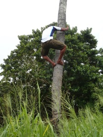 climbing a coconut tree ...