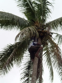 … we blinked and this guy was already way up the tree plucking coconuts! Incredible.