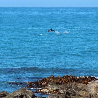 Kaikoura dolphin pod