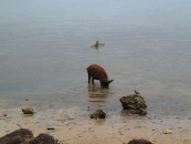fishing pig