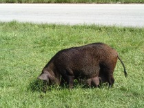 a common sight in Tonga are the ever present pigs :-)