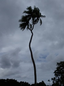 THE ONE … THE ONLY … The magnificent double headed coconut tree of Tonga !!! :-)