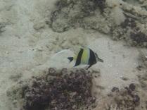 sailfin fish