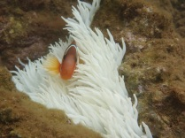 Nemo - aehh clown fish