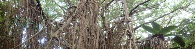 Giant Banyan Tree