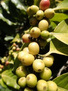 Tanna coffee berries