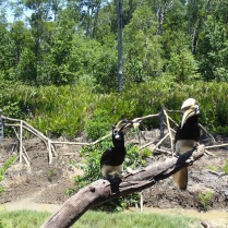 Labuk Bay is also home to several hornbills
