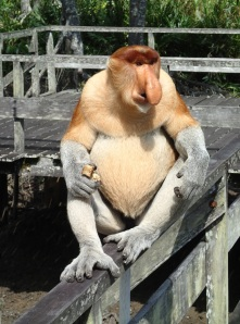 Labuk Bay proboscis monkeys