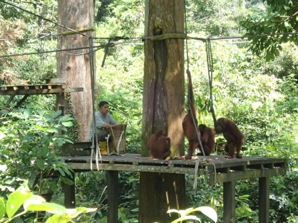 lunch time - orang-utan style
