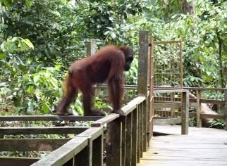 Sepilok Orangutan Reha Centre