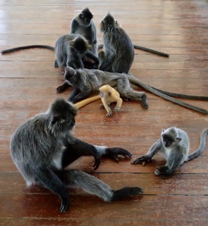 Silver haired monkey family