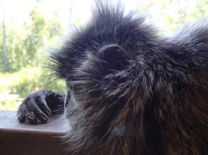 monkey siesta